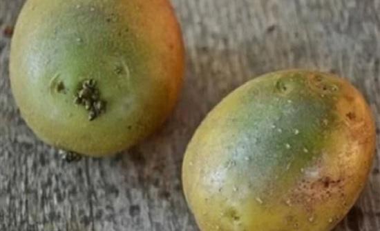 طبيبة تكشف مخاطر اللون الأخضر في البطاطا والباذنجان