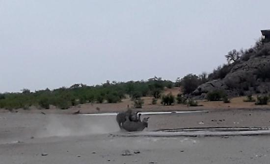 بالفيديو: تحدي قاتل بين ذكور وحيد القرن النادرة
