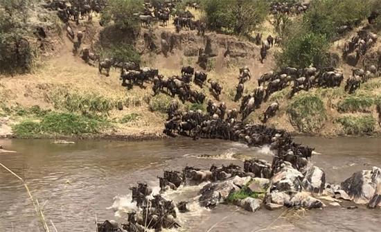 بالفيديو: تمساح جائع يعترض قطيعا ضخما من الجواميس الوحشية في افريقيا