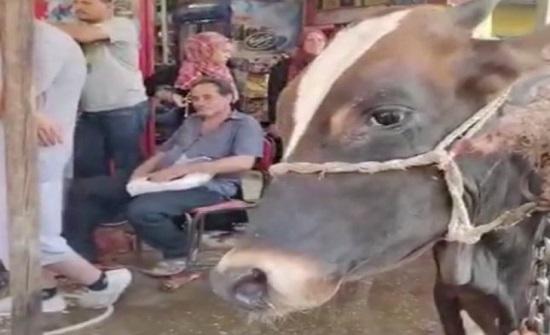 شاهد.. بقرة تبكي لحظة مشاهدتها ذبح الأضاحي في مشهد حزين بمصر