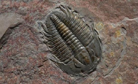 علماء صينيون يكتشفون أحفورة ترجع إلى 500 مليون عام
