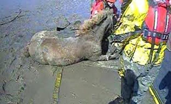 إنقاذ حصان غارق في الوحل (فيديو )