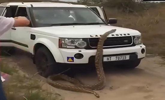 بالفيديو : ثعبان عملاق يهاجم سيارة سياح ويهددهم