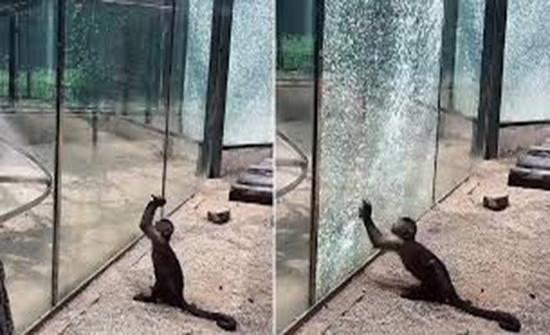 شاهد : قرد يستخدم القوة  للهروب من حديقة الحيوانات في الصين
