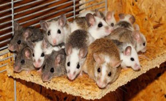 امريكي يستخدم الفئران للاحتيال على الفنادق والحصول على تعويضات..