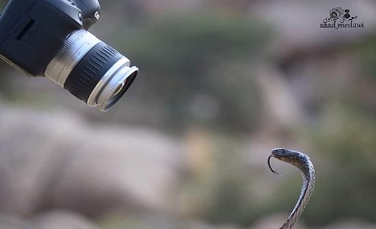 بالفيديو : مصور سعودي يتعرض لهجوم مباغت من كوبرا