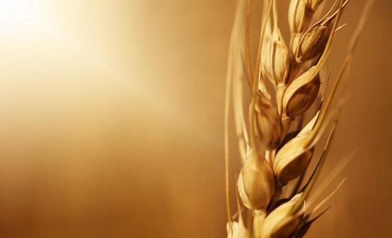 مخزون القمح يكفي استهلاك السوق لنحو 18 شهرا