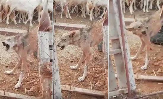 بالفيديو: ذئب يقتحم حظيرة أغنام بالسعودية.. وتعامل فوري من مالكها