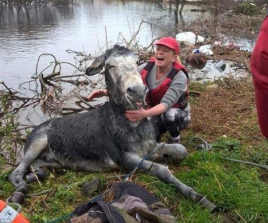 صور .... حمار يضحك بعد إنقاذه من الفيضانات!