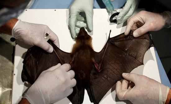 """""""الإندبندنت"""": اكتشاف فيروس كورونا جديد لدى خفافيش بريطانية"""