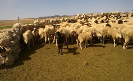 توفير الأعلاف للثروة الحيوانية في البادية الشمالية الشرقية