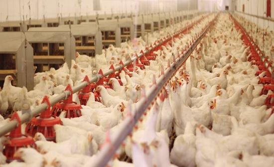 مليون طير ومليار بيضة مائدة الانتاج المحلي سنويا