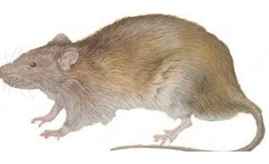 بالفيديو.. فأر يدافع عن نفسه بحركات النينجا أمام قط