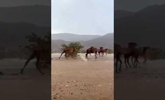 بالفيديو : مشاهد لإبل تستمتع بهطول الأمطار في مكة المكرمة
