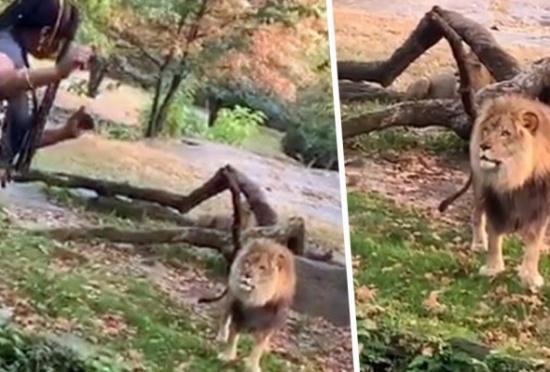 شاهد.. امرأة سمراء تتحدى أسد إفريقي داخل حديقة حيوان وترقص أمامه بنيويورك