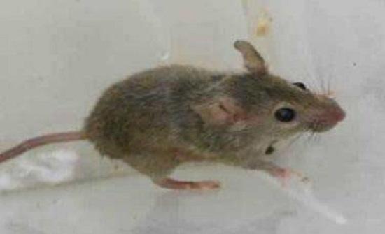 """"""" الغذاء والدواء """" تصدر تصريحا حول وجود فئران داخل مطعم"""