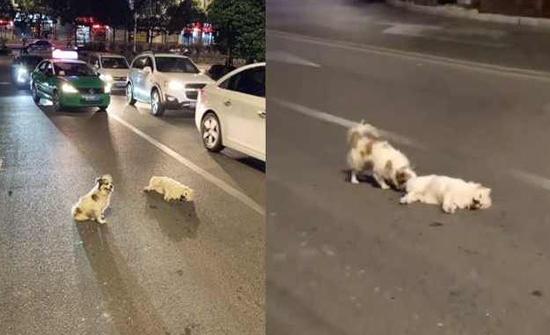 شاهد: الكلب ينتظر 3 ساعات ليساعد أحدهم كلباً دهسته سيارة في الصين