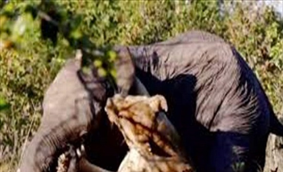 """""""معركة دامية"""".. فيلٌ يقع بين براثن لبؤة جائعة! (فيديو)"""