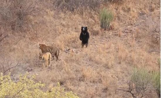شاهد: دب شجاع يدافع عن نفسه واقفاً على أرجله الخلفيتين أمام نمر اقترب منه