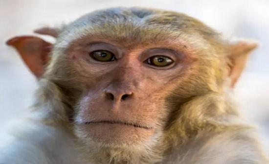 ما هو الفيروس القردي؟