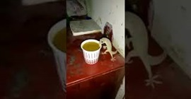 سحلية تتناول كوب من الشاي داخل أحد المنازل (فيديو)