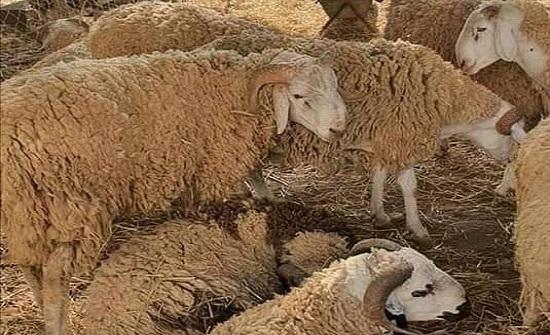 البيئة: أسواق الماشية أماكن سهلة لنقل الأمراض