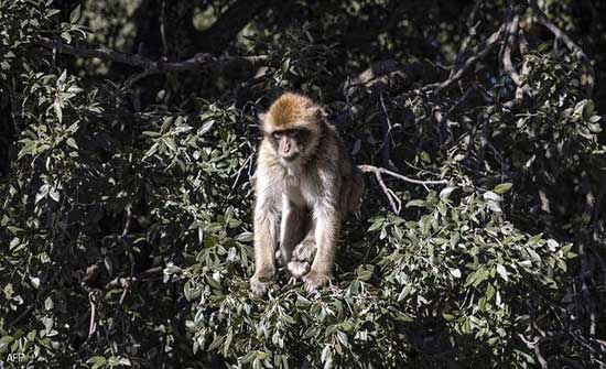"""الصين.. وفاة أول حالة بشرية بـ""""الفيروس القردي B"""""""