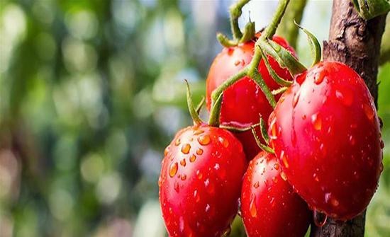 لهذه الأسباب أكثروا من تناول الطماطم