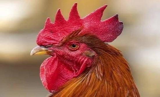 الدجاج مهدّد بالانقراض في دولة عربية