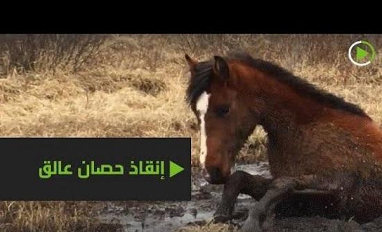 إنقاذ حصان علق في مستنقع في كندا..فيديو
