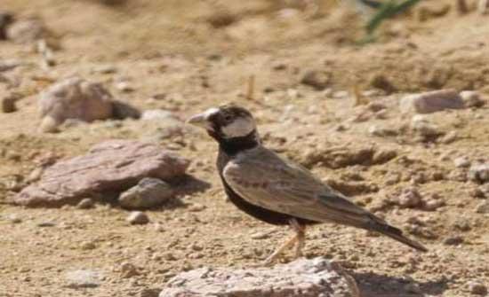 تسجيل جديد لطائر القبرة العصفورية في مرصد طيور العقبة