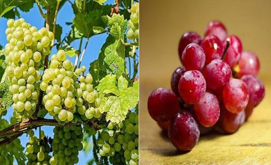 العنب الأحمر والأخضر.. الفرق بينهما وأيهما أفضل لصحتك..