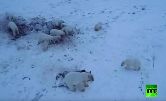 بالفيديو : 50 دبا قطبيا يشل حركة قرية روسية