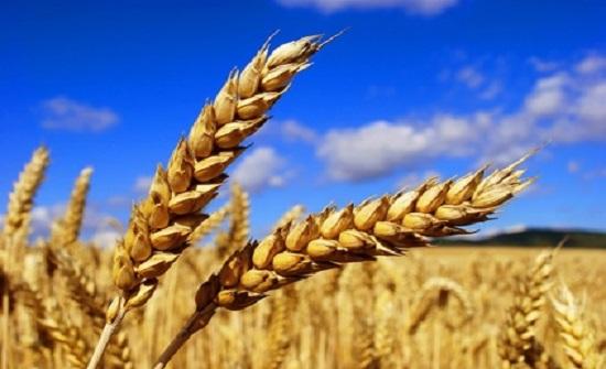 الطفيلة: انخفاض انتاجية المحاصيل الحقلية لأدنى مستوياتها