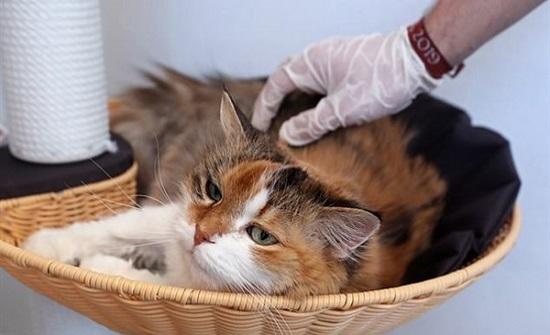 القطط أكثر عرضة للإصابة بفيروس كورونا من الكلاب.. تفاصيل