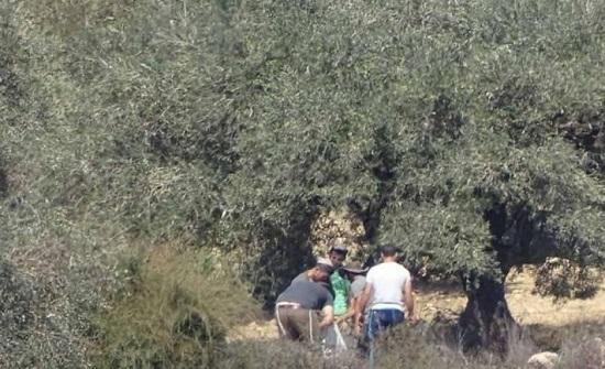 مستوطنون يسرقون الزيتون ويطردون المزارعين من أراضيهم جنوب نابلس