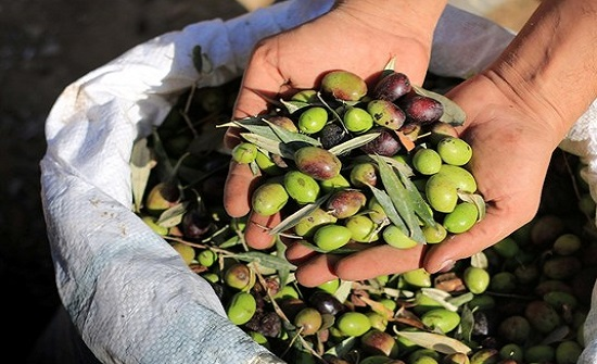 وزير الزراعة الفلسطيني : قررنا استيراد زيتون مخصص للكبيس من الاردن