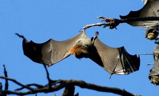 خفاش يهاجم مرشحة للرئاسة الأمريكية