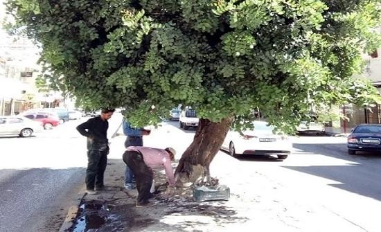 تم استخدامة لاشعال فحم الارجيلة ...ترميم جوف شجرة معمرة في إربد