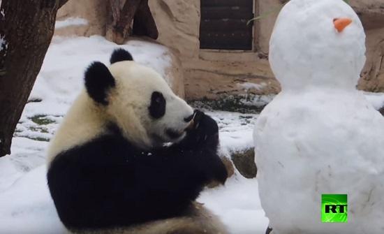 """باندا """"تتعرف"""" على رجل الثلج - فيديو"""