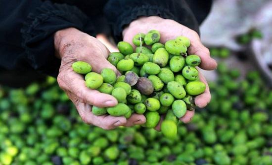 أسعار زيت الزيتون تتراجع بنسبة 10 % عن العام الماضي