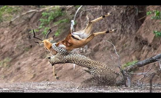 نمر يصطاد ظبيا بطريقة مثيرة (فيديو)