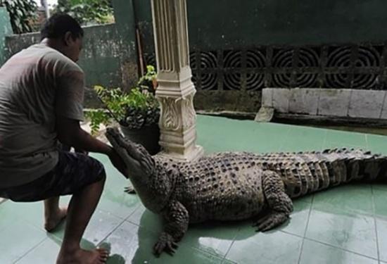 بالفيديو.. عائلة تربي تمساحاً مفترساً كحيوان أليف!