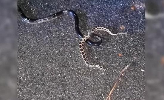 بالفيديو.. ثعبان يبتلع آخر بعد شجار عنيف