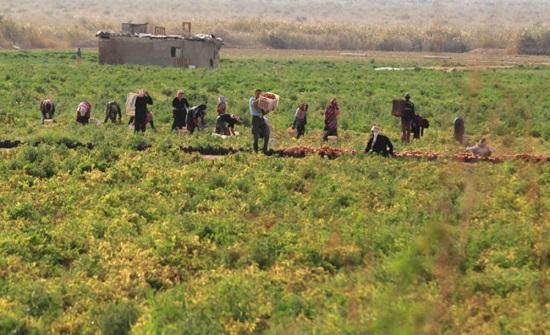 زراعة وادي الاردن: كميات الامطار اليوم تبشر بفوائد على الزراعات الصيفية