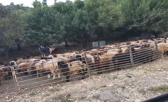 بلدية عجلون تحدد مواقع بيع الأضاحي