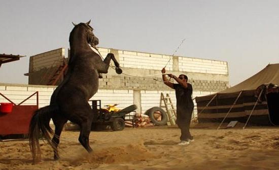 انطلاق فعاليات بطولات الشرق الأوسط للخيول العربية الأصيلة