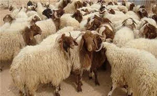 الماشية الأردنية تلقى رواجا كبيرا في سوق الأضاحي القطرية