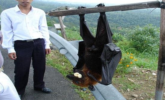 الثعلب الطائر.. خفاش مرعب بحجم الإنسان يثير ضجة فما حقيقته؟