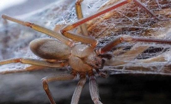 اكتشاف عناكب قاتلة تعيش في الأثاث